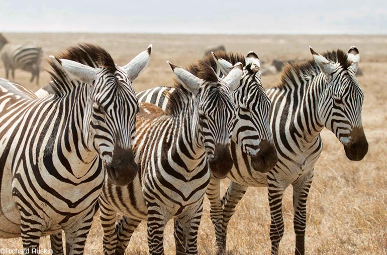 East Africa Safari Small Group Tour zebra africa african travel specialists