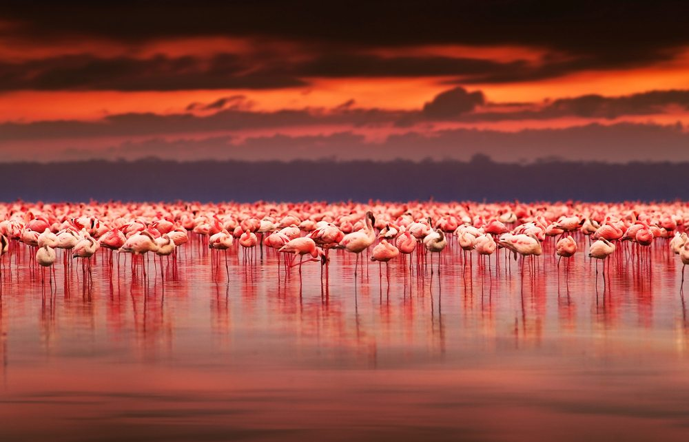 Flamingos Lake Nakuru Kenya