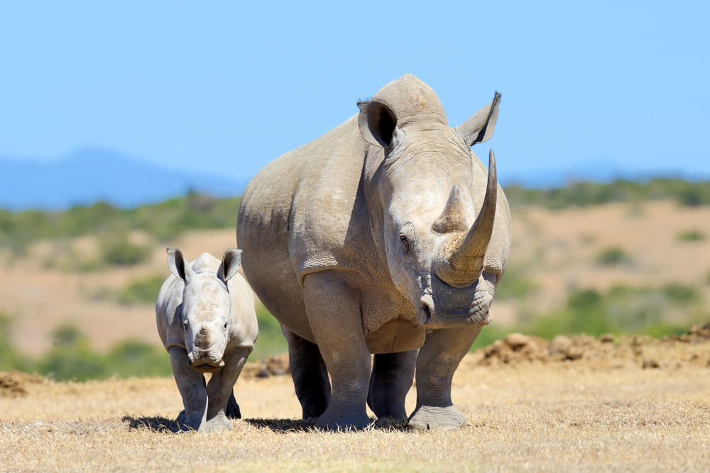 White Rhino National Park of Kenya Kenya African Travel Specialists