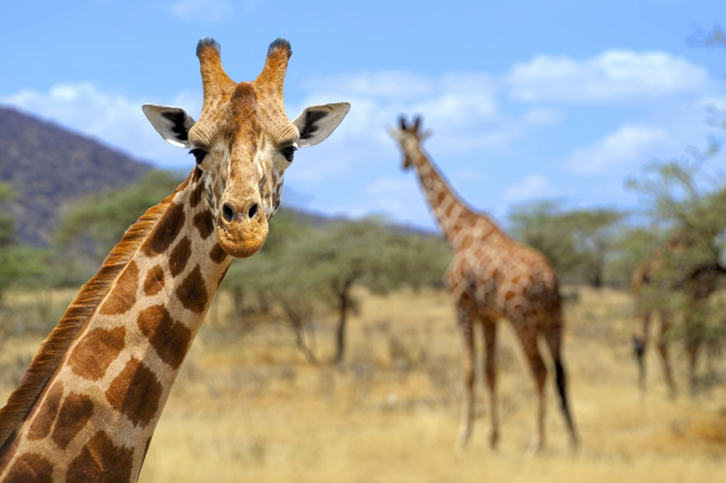 Amboseli national park Kenya African travel specialists Giraffe