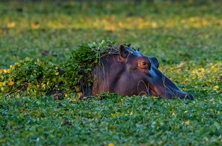 Hippo African Travel Specialists Mana Pools National Park Zimbabwe