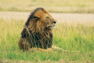 lion  male africa RR