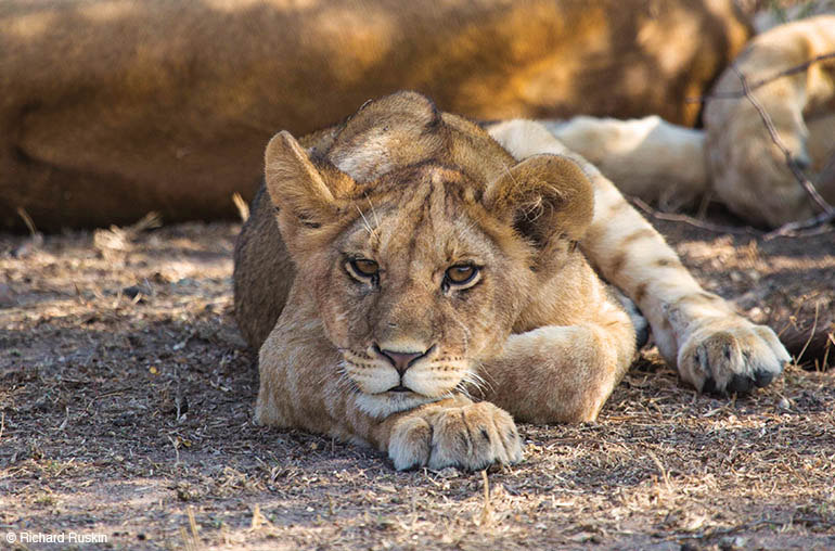 lion cub africa kenya african travel specialists