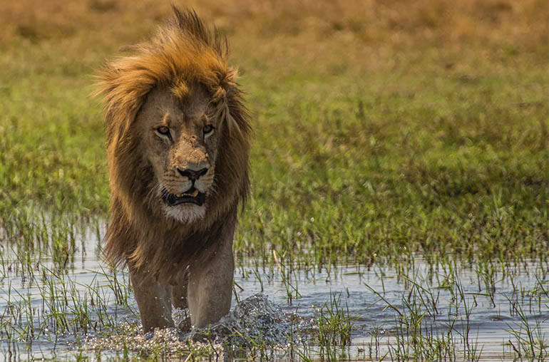 lion Botswana Africa river african travel specialists