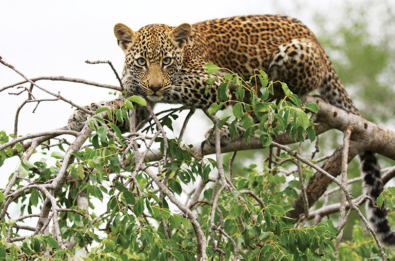Leopard Africa African Travel SPecialists