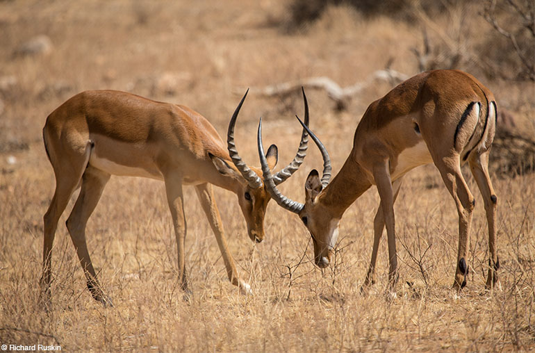 Deers africa tanzania african travel specialists