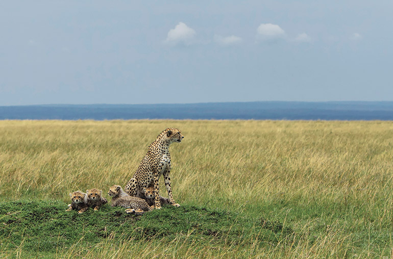 Cheetah Cubs RR Africa African TRavel Specialists