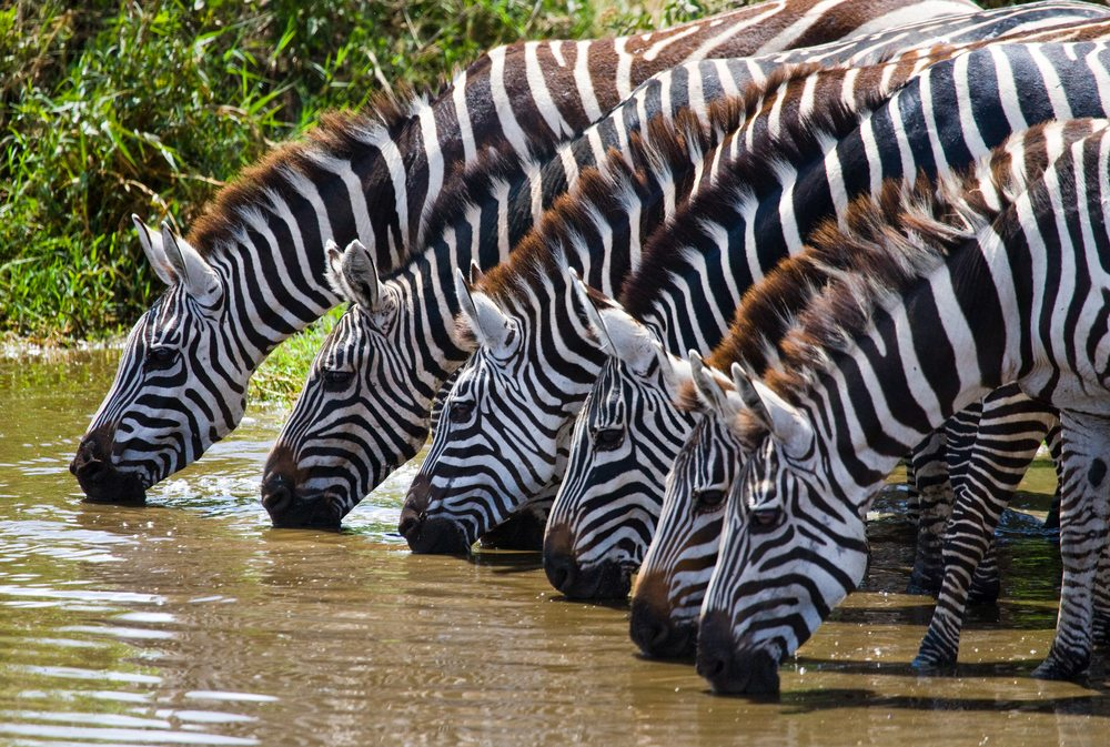 Zebra Serengeti National Park Tanzania African Travel Specialists