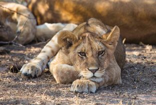 lion cub RR Africa East Africa