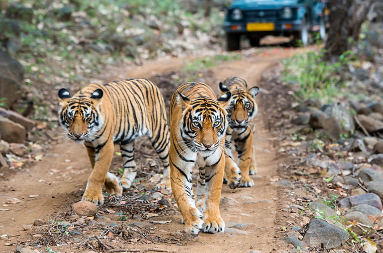 Tigers Ranthambore India Tours and Travel Specialists