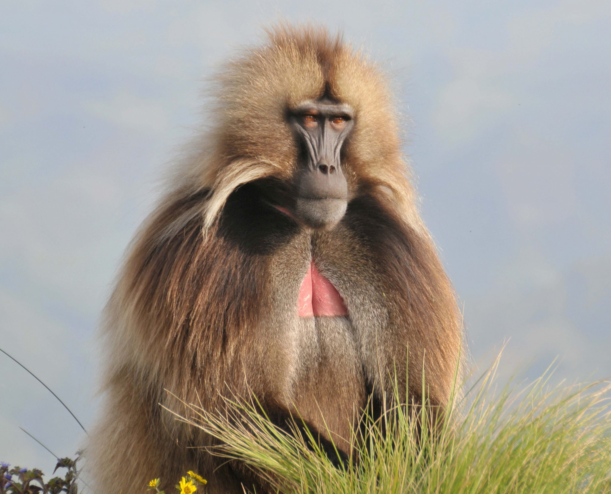Ethiopia Simien Mountains Baboon African Travel Specialists