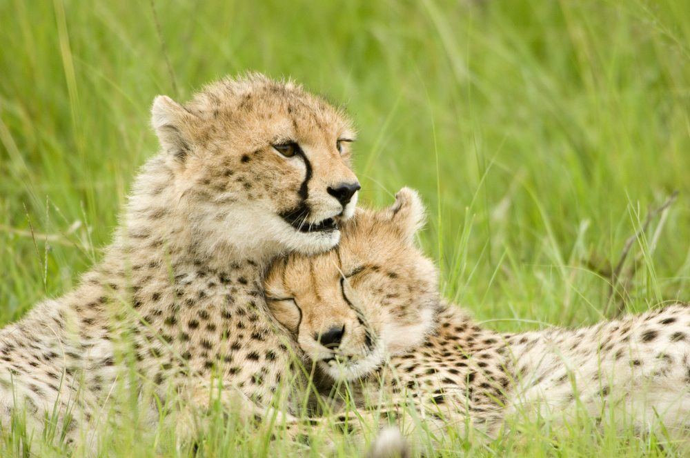 Cheetah Tanzania African Travel Specialists