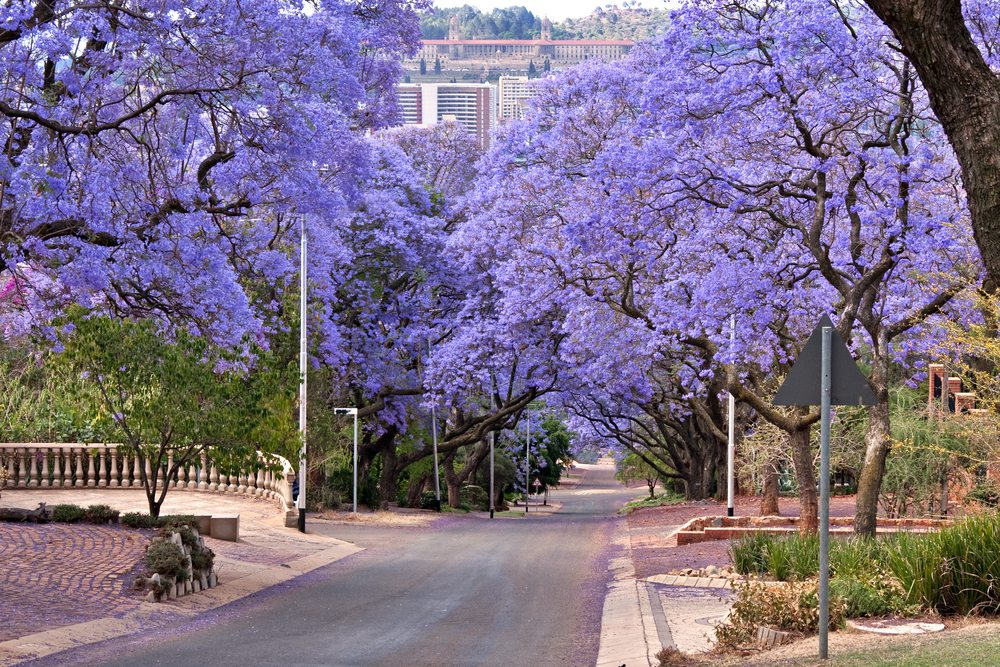Jacaranda Trees Johannesburg South Africa African Travel Specialists