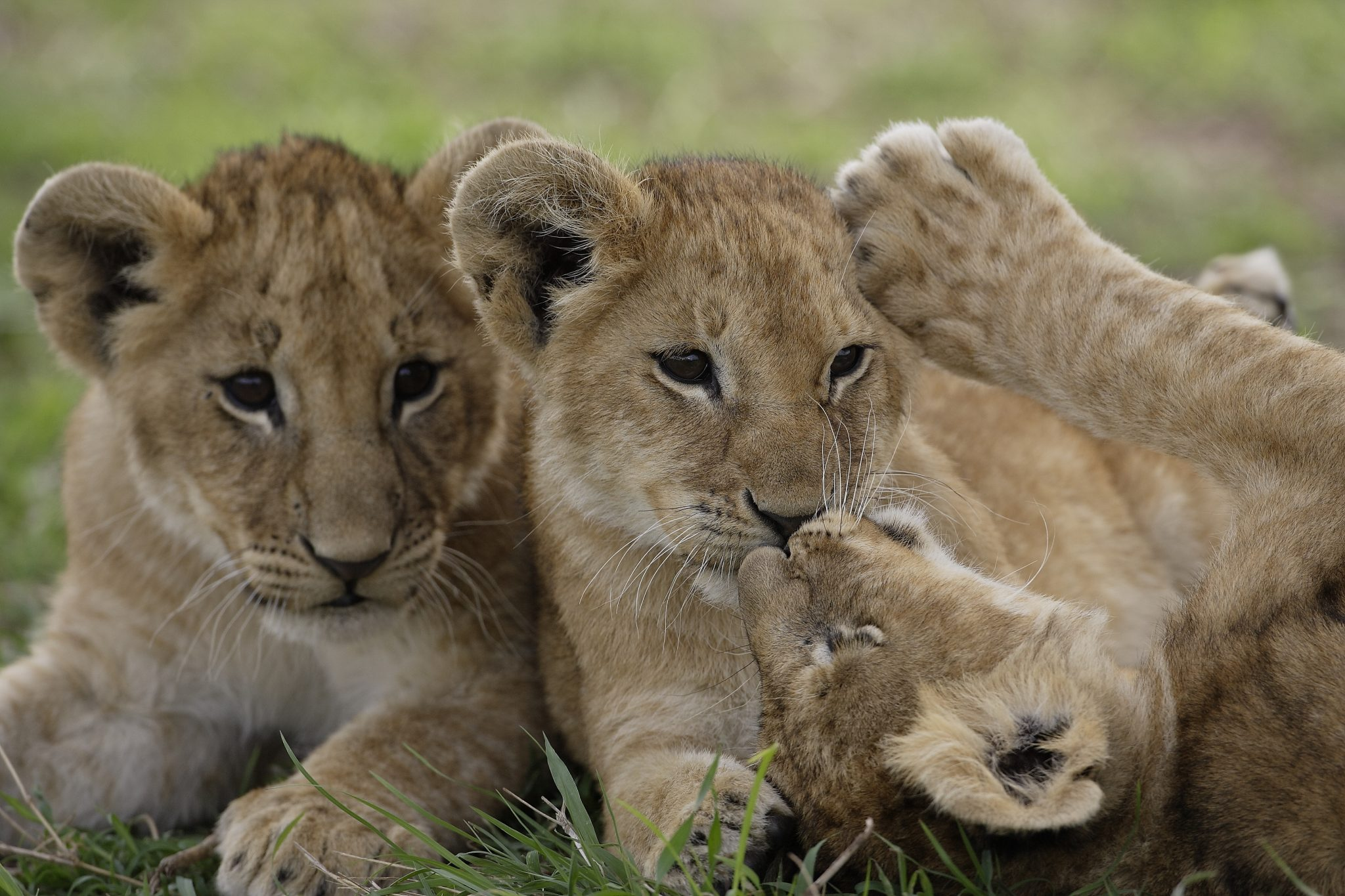 Lion cubs Botswana Best of Botswana African Travel Specialists