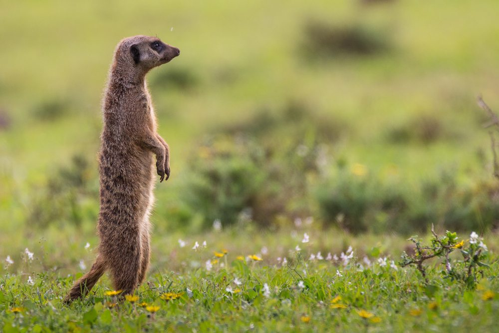 Meerkat South Africa African Travel Specialists
