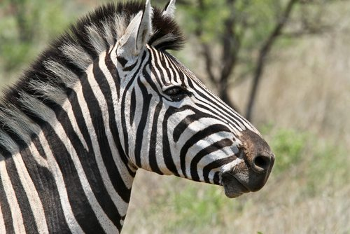 Madikwe Private Game Reserve Zebra South Africa  Johannesburg