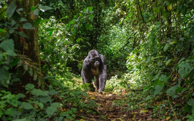 Gorilla Uganda Rainforest Uganda African Travel Specialists
