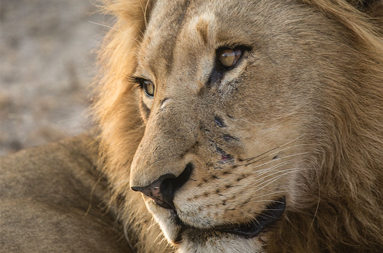 Lion ultimate zambia richard ruskin africa african travel specialists