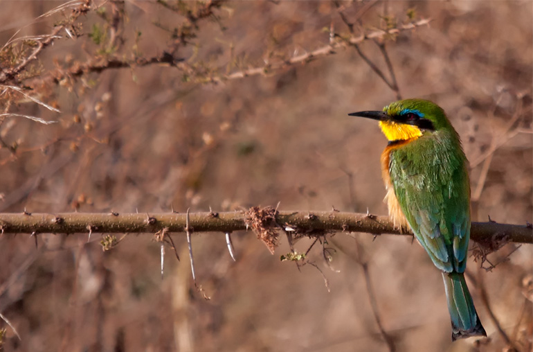 little bee eater bird botswana africa richard ruskin