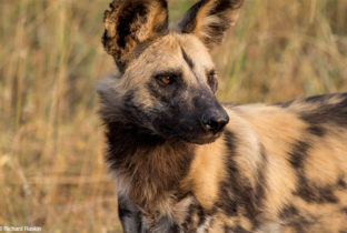 Wild dog kenya tanzania africa african travel specialists