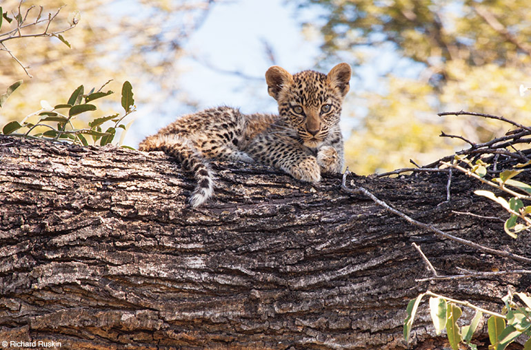 leopard cub Richard Ruskin Africa african travel specialists
