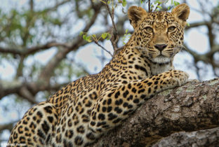 leopard  ultimate southern tanzania africa african travel specialists