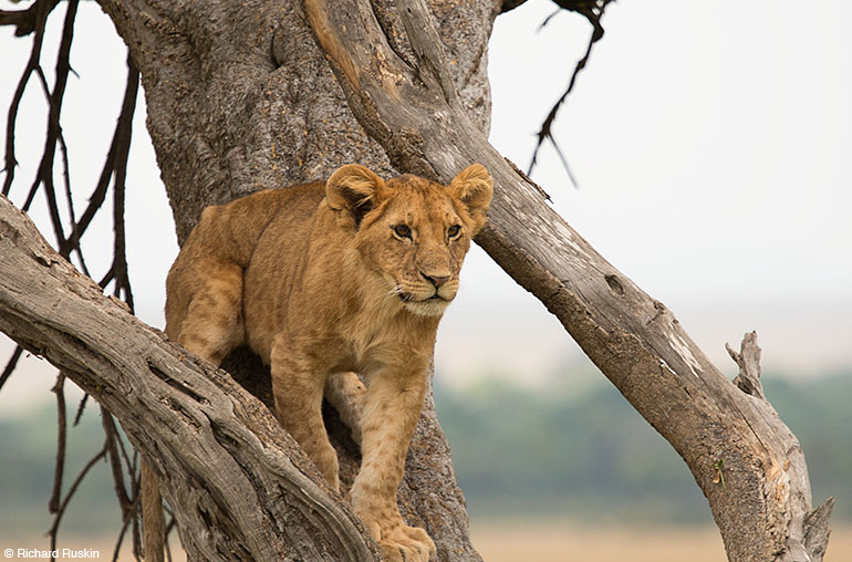 lion cub africa african travel specialists