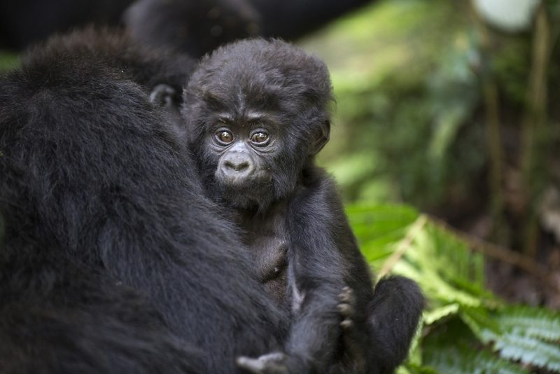Volcanoes National Park Rwanda Rwanda Tropical Forest Mountain Gorilla Rwanda Trekking African Travel Specialists