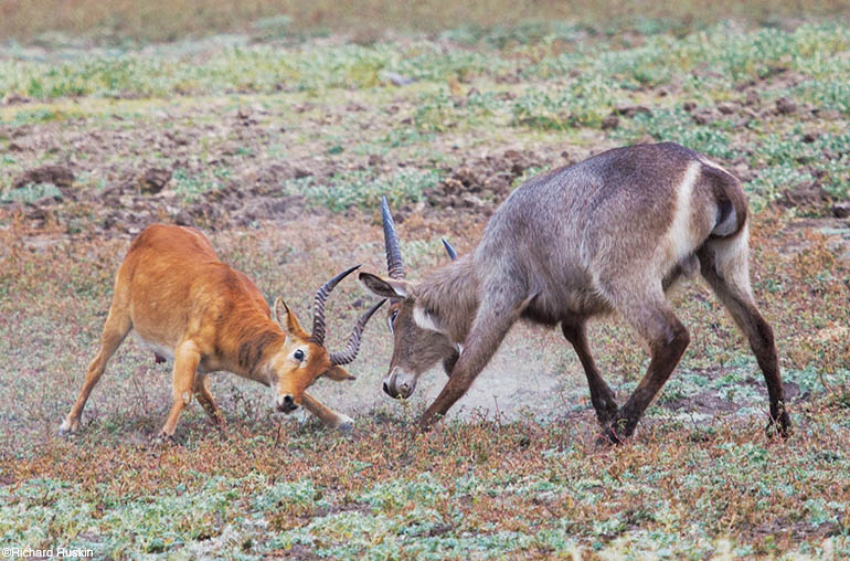 Antelopes richard ruskin africa african travel specialists