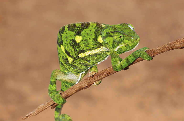 chameleon Best of Madagascar African Safari African Travel Specialists Africa