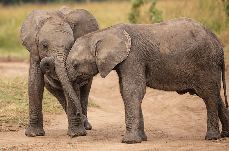elephants playing zambia  RR