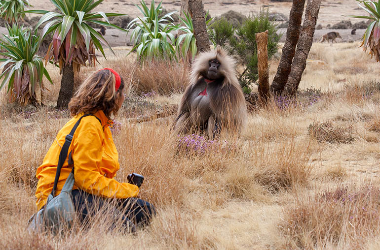 gelada baboon simien mountains Ethiopia africa african travel specialists