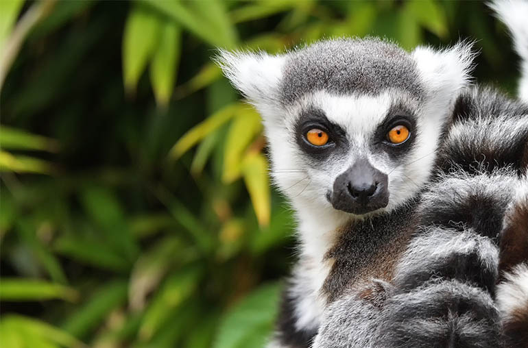 lemur Best of Madagascar African Safari African Travel Specialists Africa
