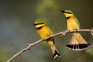 little bee eaters birds zambia south luangwa