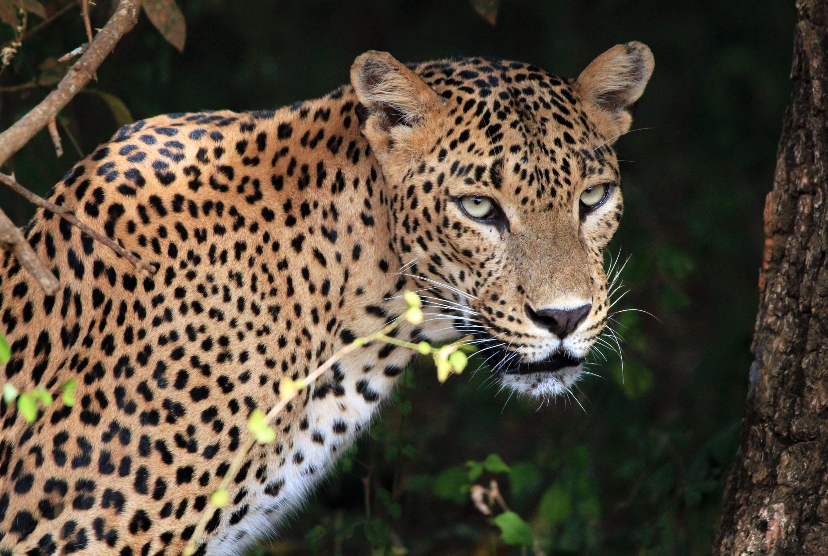 Sri Lankan Leopard Yala National Park Sri Lanka India Tours and Travel Specialists