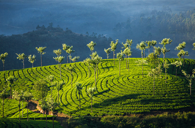 Tea Plantations Munnar Best of Kerala India Tours and Travel Specialists