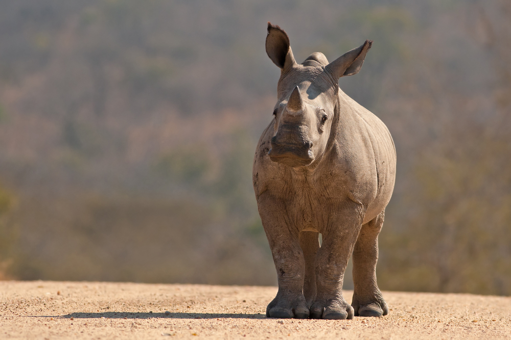 White Rhinoceros Kruger National Park South Africa Escape Africa African Travel Specialists