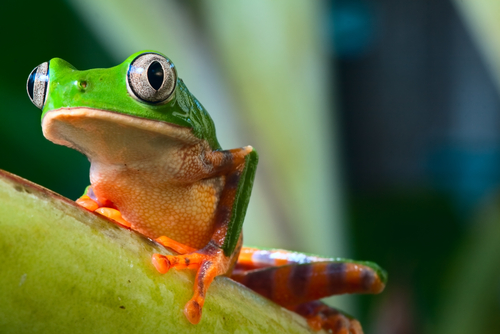 Brazil Amazon Rainforest Treefrog Amazon Wildlife Amazon Cruise South America South American Travel Specialists