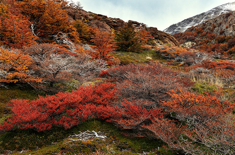 Colorful beech trees in autumn forest of Patagonia. Los Glaciares National Park, Andes, Santa Cruz Province. Argentina