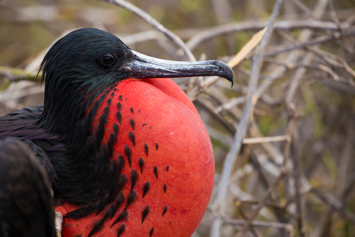 Frigate Bird Galapagos Islands Santa Cruz Ecuador South America South American Travel Specialists