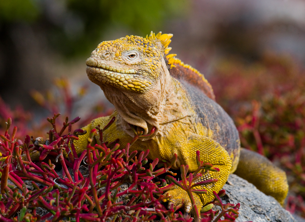 Land Iguana Galapagos Islands Santa Cruz Ecuador South America South American Travel Specialists