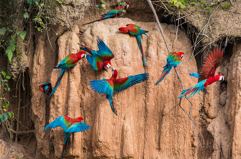 Macaws in the Peruvian Amazon