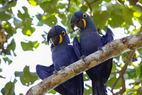 Hyacinth Macaws Amazon Cruise Negro River Amazon River Brazil South America South American Travel Specialists