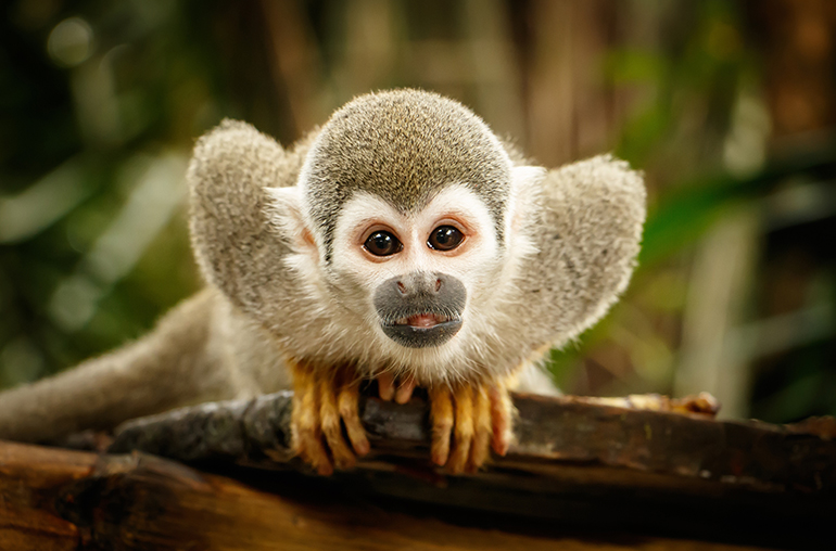 Squirrel Monkey Madidi National Park South American Travel Specialists South America