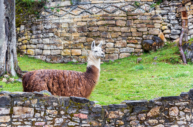 View of the ruins of Kuelap with a llama in the foreground of the Chachapoyas culture in northern Peru