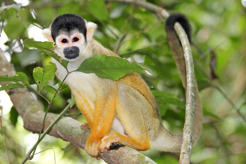 Wild Squirrel Monkey Peruvian Amazon wildlife Jungle Lodges Amazon Peru South America South American Travel Specialists