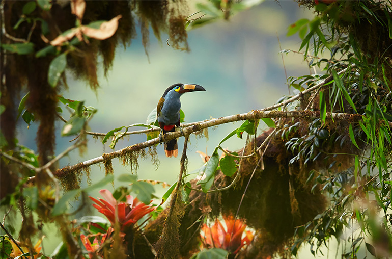 toucan ecuador cloud forest south america