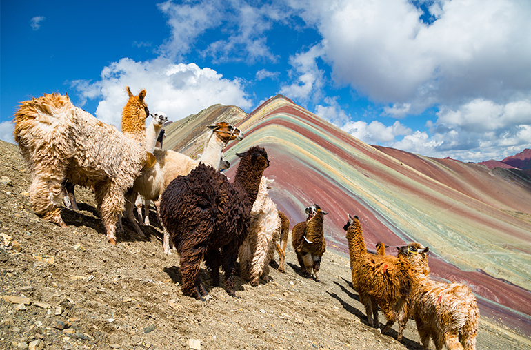 llamas looking to the rainbow mountain.Vinicunca Mountain, Peru, Cusco Peru South America South American Travel Specialists
