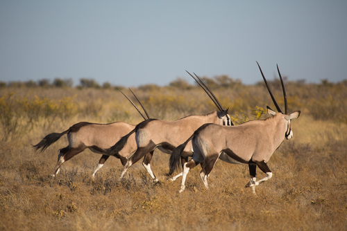 Gemsbok Kalahari Botswana Wildlife Safari Walking Safari Africa  African Travel Specialists