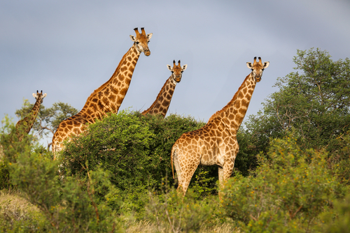 Giraffe Kruger National Park South Africa Africa African Travel Specialists